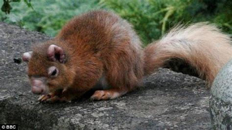 The latest threat to red squirrels? LEPROSY   Daily Mail