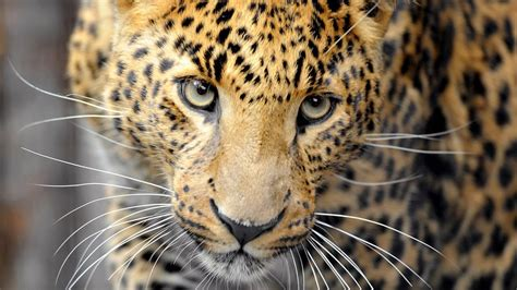Watch Attack of the Big Cats Videos Online - National