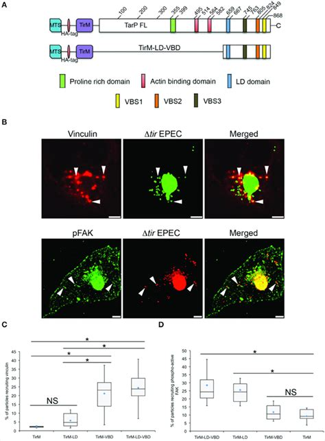 Frontiers | Vinculin Interacts with the Chlamydia Effector